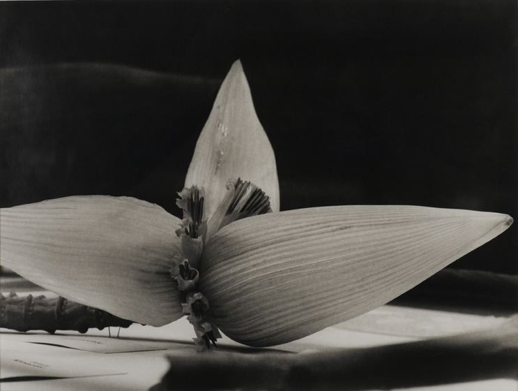 Christopher Williams (American, born 1956). Sri Lanka, 1989 / Blaschka Model 694, 1903 / Genus no. 1318 / Family, Musaceae / Musa rosacea Jacq. / (from Angola to Vietnam*). 1989. Gelatin silver print, paper: 11 x 14″ (27.9 x 35.6 cm); framed: 18 13/16 x 21 7/8″ (47.8 x 55.6 cm). The Museum of Contemporary Art, Los Angeles. The El Paso Natural Gas Company Fund for California Art, 89.34