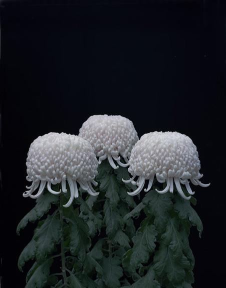 Tomoko Yoneda - Chrysanthemums