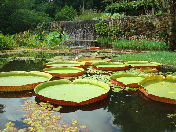 Victoria amazonica water lilies, garden of the Fazenda Vargem Grande, Clemente Gomes residence, Areias, designed by Roberto Burle Marx, 1979.