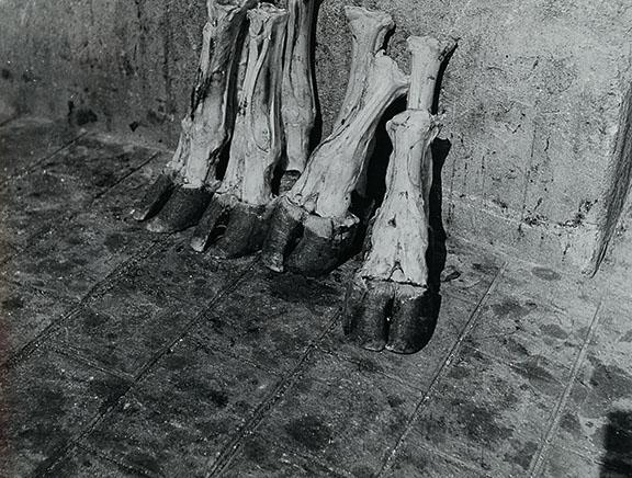 10. Madame d'Ora, Severed cow's legs in a Parisian abattoir, ca. 1954-57. © Nachlass Madame d'Ora, Museum für Kunst und Gewerbe Hamburg